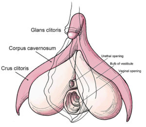 Structure of the clitoris