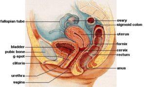 Female sexual anatomy